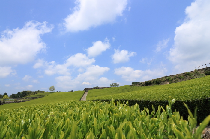 【大渕笹場/今宮の茶畑】静岡ドライブ part 1_f0348831_23204829.jpg