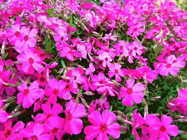 2018年4月30日 少しずつ広がる花の絨毯 (*^-^)ニコ  _b0341140_18485447.jpg