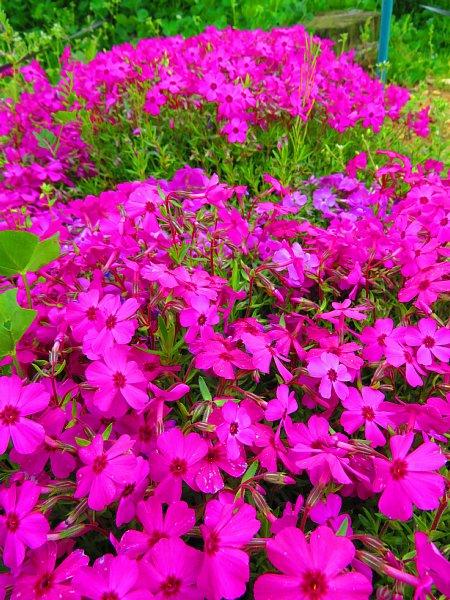 2018年4月30日 少しずつ広がる花の絨毯 (*^-^)ニコ  _b0341140_18491661.jpg