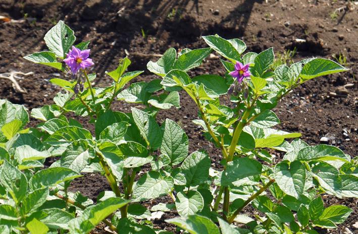 ジャガイモ開花、カボチャ植え付け、オクラ発芽など4・19~23_c0014967_15273814.jpg