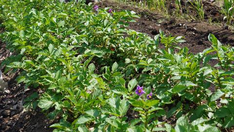 ジャガイモ開花、カボチャ植え付け、オクラ発芽など4・19~23_c0014967_15275927.jpg