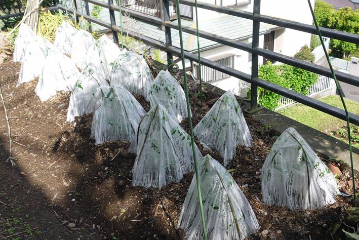 ジャガイモ開花、カボチャ植え付け、オクラ発芽など4・19~23_c0014967_15294937.jpg