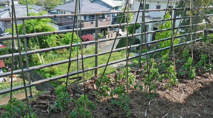 ジャガイモ開花、カボチャ植え付け、オクラ発芽など4・19~23_c0014967_15302665.jpg