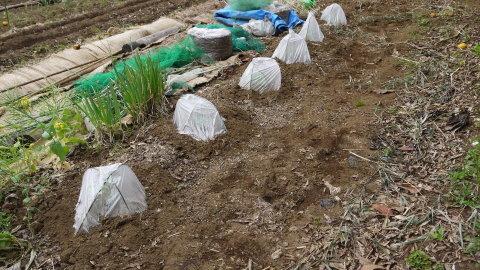 ジャガイモ開花、カボチャ植え付け、オクラ発芽など4・19~23_c0014967_15364864.jpg