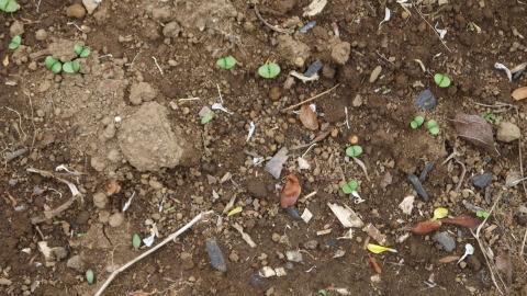 ジャガイモ開花、カボチャ植え付け、オクラ発芽など4・19~23_c0014967_15373568.jpg