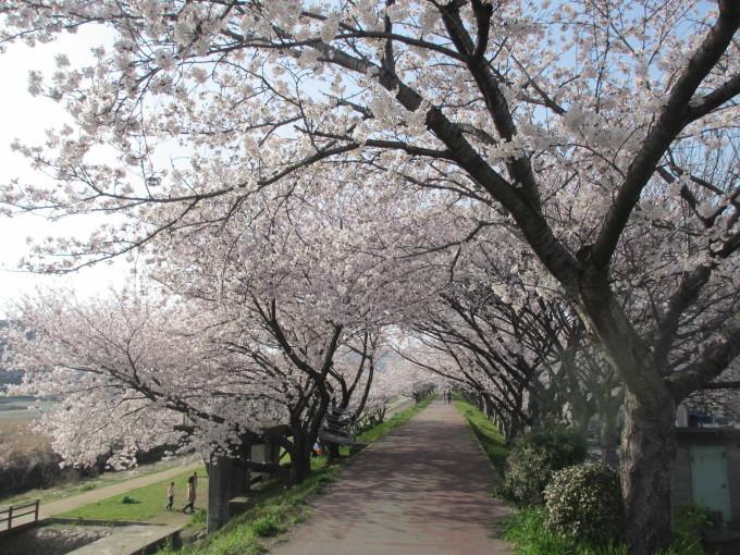 夢前川の桜_d0077106_15161296.jpg