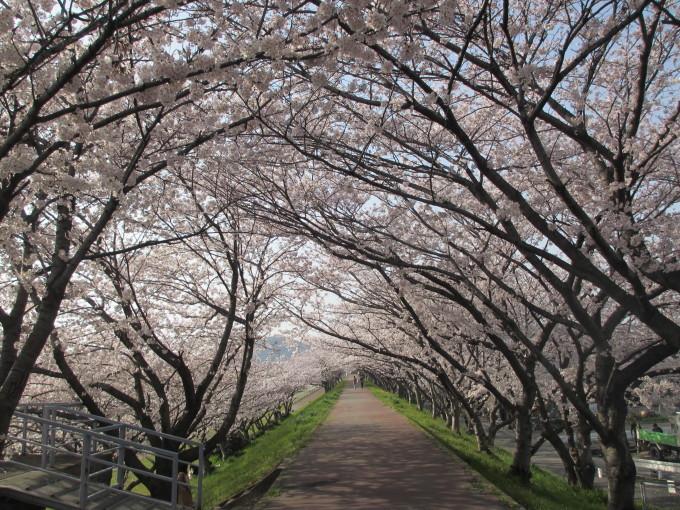 夢前川の桜_d0077106_15163088.jpg
