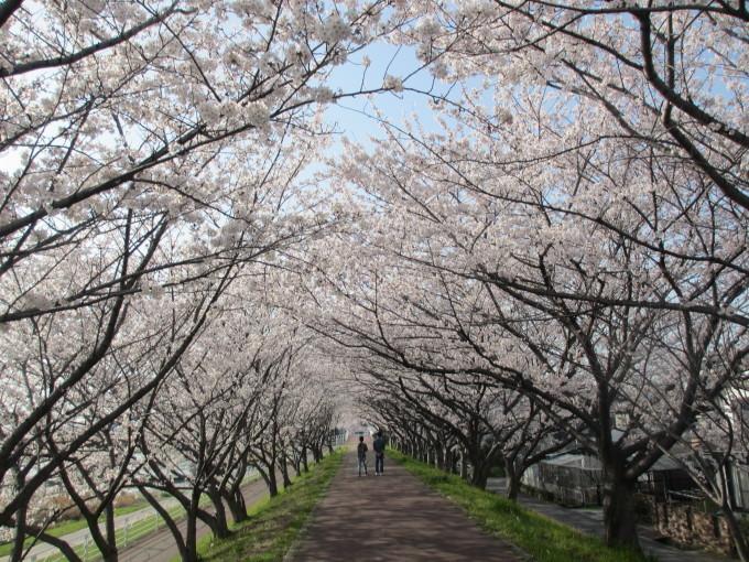 夢前川の桜_d0077106_15165761.jpg