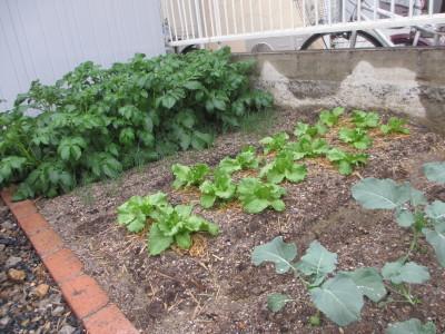 家庭菜園その後_e0150006_16081698.jpg