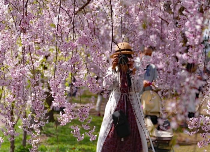 福島県喜多方市 「日中線記念自転車・歩行者道の枝垂桜」 ④_d0106628_10255555.jpg