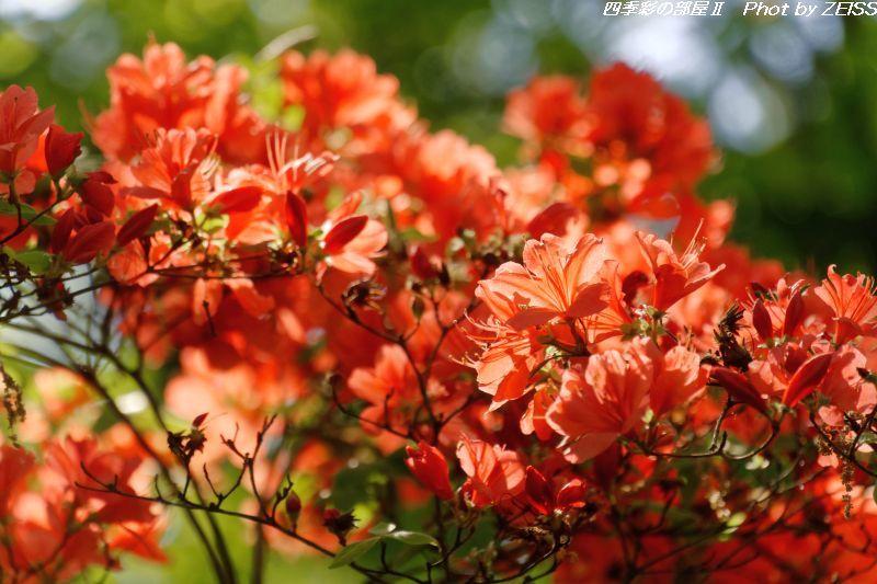 国営武蔵丘陵森林公園のヤマツツジ_d0358854_13361636.jpg