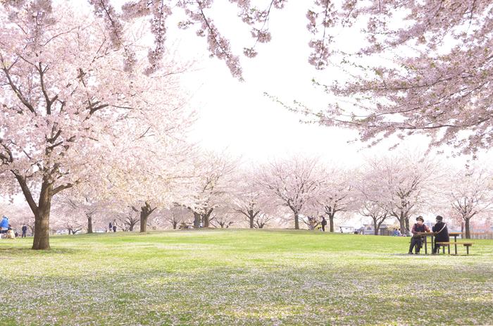 新井田公園で体感する桜のセカイ_c0048667_00002055.jpg