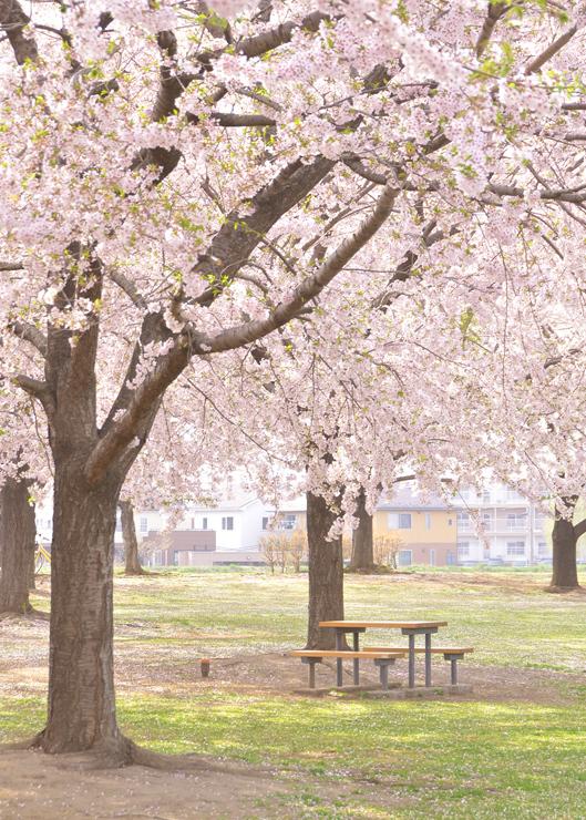 新井田公園で体感する桜のセカイ_c0048667_00031055.jpg
