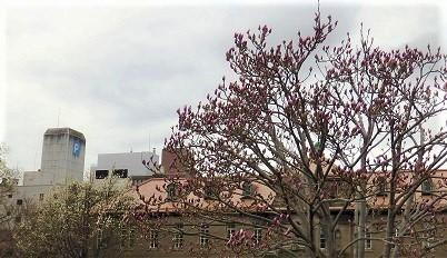 大通公園の春景色 噴水・木蓮・こぶし_f0362073_18080905.jpg
