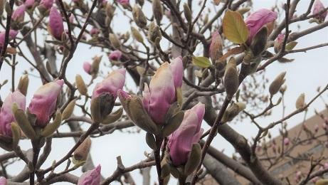 大通公園の春景色 噴水・木蓮・こぶし_f0362073_18084360.jpg
