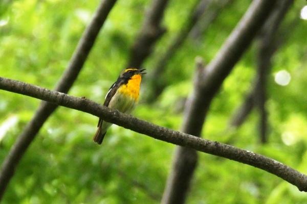 夏鳥、続々やってきています!_d0121678_15035451.jpg