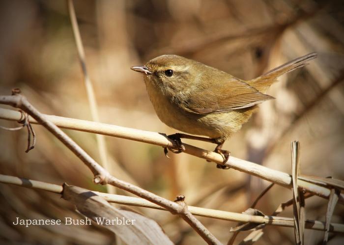 ウグイス:Japanese Bush Warbler_b0249597_07055301.jpg