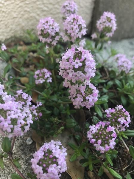 春の宿根草  ピンクの花たち_e0232798_09051664.jpeg