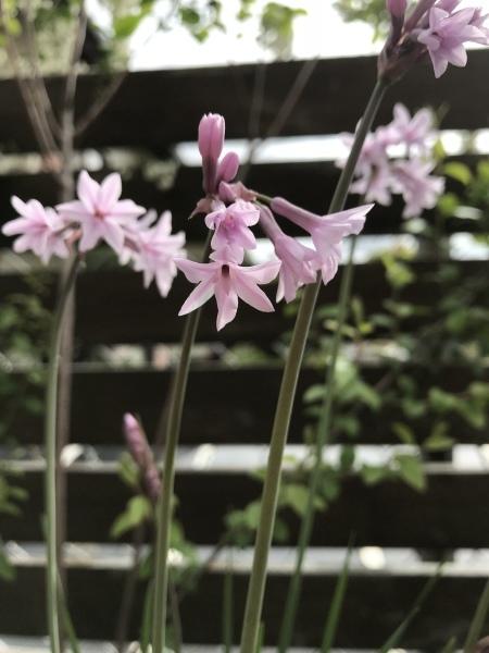 春の宿根草  ピンクの花たち_e0232798_09060301.jpeg