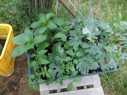 スイカ苗の植え付け_b0137932_08520799.jpg