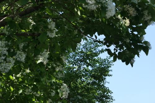 白い花の木_d0193569_08254313.jpg