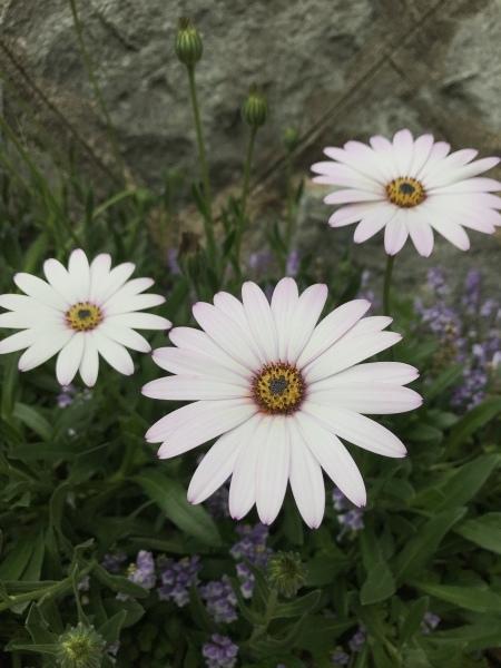 春の宿根草  ピンクの花たち_e0232798_03565354.jpeg