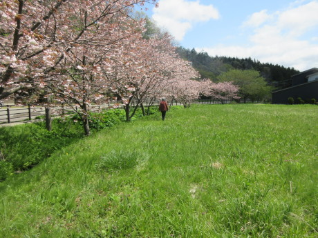今年の普賢象・食べられる草を摘む_a0203003_15525997.jpg