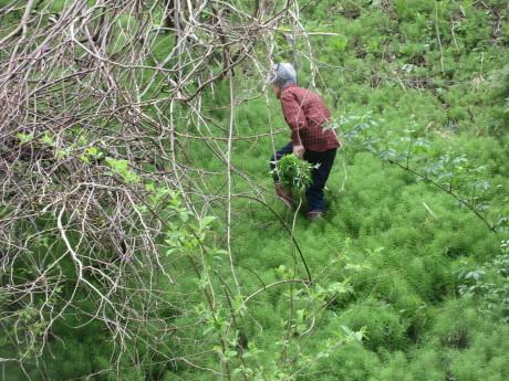 今年の普賢象・食べられる草を摘む_a0203003_15533659.jpg