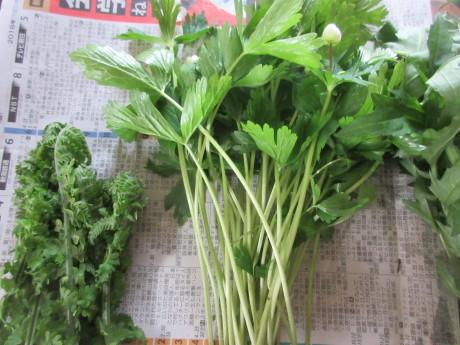 今年の普賢象・食べられる草を摘む_a0203003_15553881.jpg