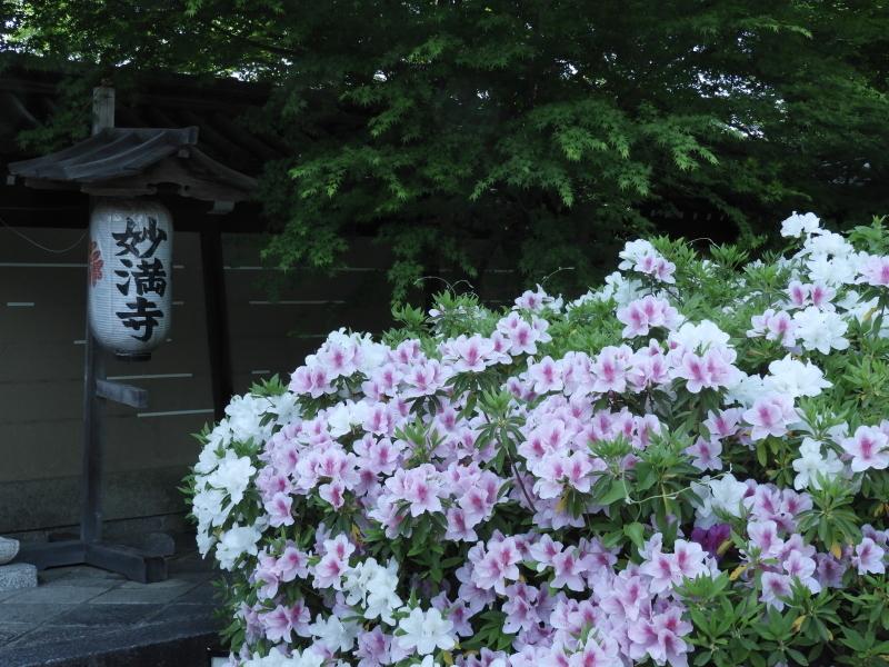 妙満寺 つつじ満開_e0048413_21393990.jpg