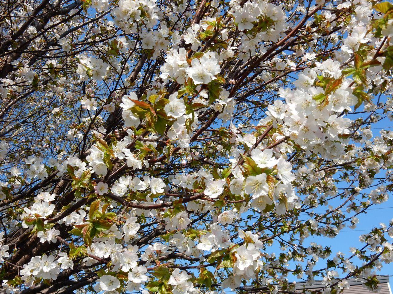 低温安定でも春らんまん_c0025115_21422210.jpg