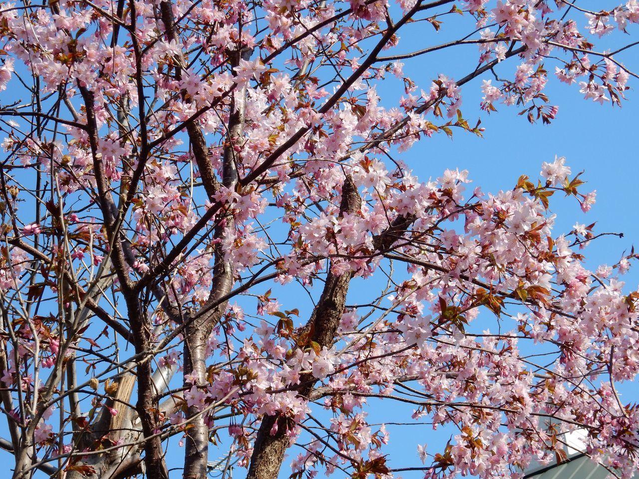 低温安定でも春らんまん_c0025115_21422620.jpg