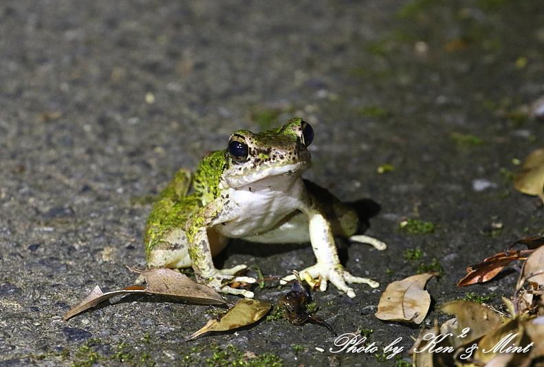 固有種「アマミヤマシギ」さんに会えました♪初見♪初撮り♪固有種カエルさん色々♪_e0218518_22425652.jpg