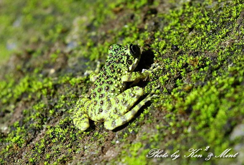 固有種「アマミヤマシギ」さんに会えました♪初見♪初撮り♪固有種カエルさん色々♪_e0218518_22440977.jpg