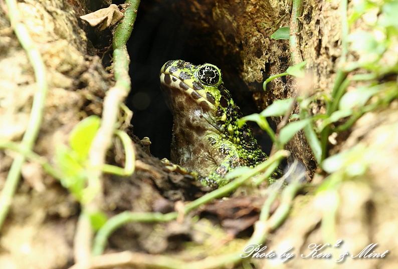 固有種「アマミヤマシギ」さんに会えました♪初見♪初撮り♪固有種カエルさん色々♪_e0218518_22444490.jpg