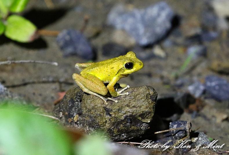 固有種「アマミヤマシギ」さんに会えました♪初見♪初撮り♪固有種カエルさん色々♪_e0218518_22451753.jpg