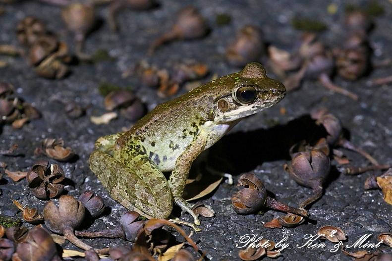 固有種「アマミヤマシギ」さんに会えました♪初見♪初撮り♪固有種カエルさん色々♪_e0218518_22505963.jpg