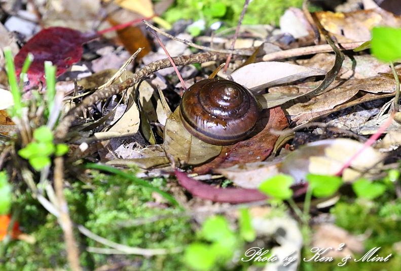 固有種「アマミヤマシギ」さんに会えました♪初見♪初撮り♪固有種カエルさん色々♪_e0218518_22535829.jpg