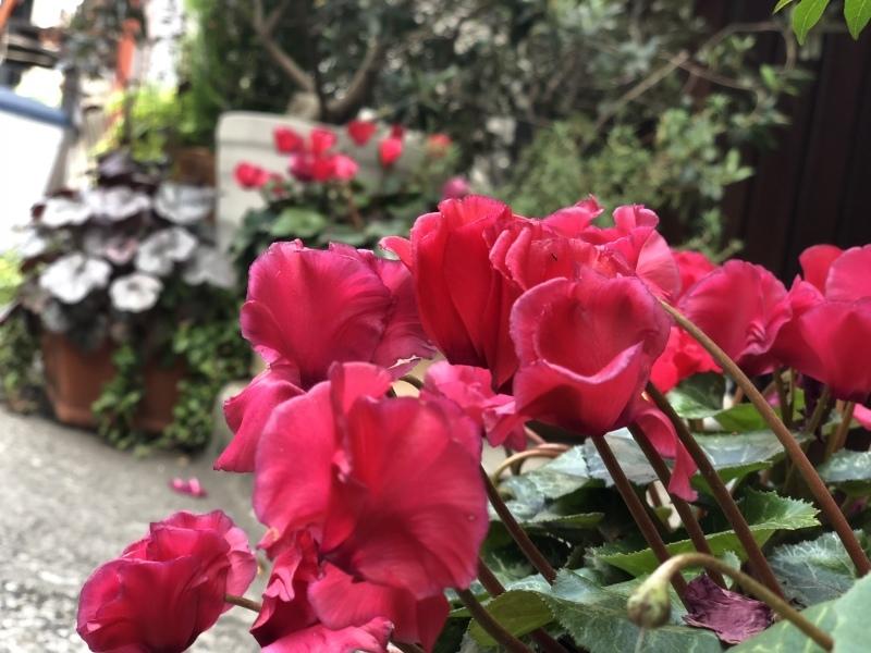シクラメン、よう咲いとります。&4月27日(金)のランチメニュー_d0243849_14392521.jpeg