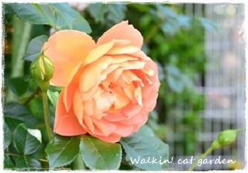 咲きました_c0322789_15332989.jpg