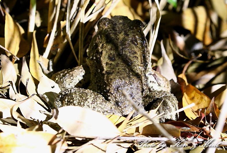 固有種「アマミヤマシギ」さんに会えました♪初見♪初撮り♪固有種カエルさん色々♪_e0218518_22091245.jpg