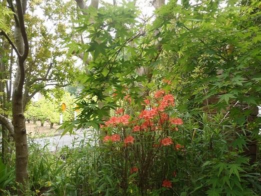 ヤマツツジも咲いています_f0045132_14560482.jpg