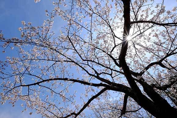 桜に挑戦_e0220159_17321063.jpg