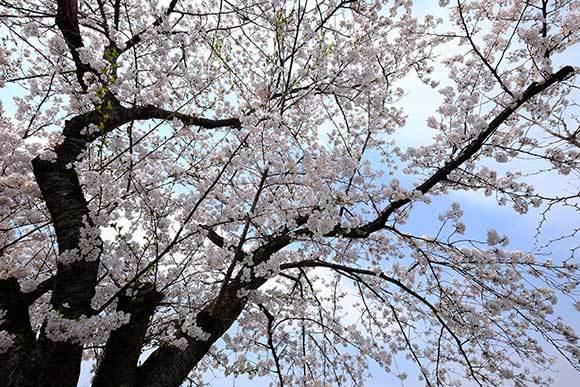 桜に挑戦_e0220159_17322340.jpg