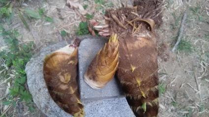 竹の子堀体験楽しいよ~❤_c0280108_06030339.jpg