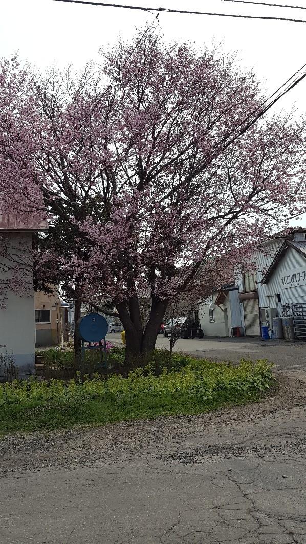 桜🌸_a0165709_12520108.jpg