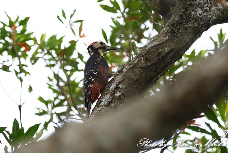 固有種 国の天然記念物「オーストンオオアカゲラ」さん♪初見♪初撮り♪_e0218518_15371631.jpg