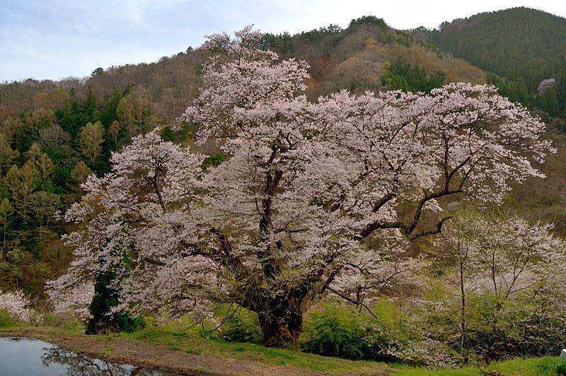 駒つなぎの桜と昼神温泉へ_c0330563_22403489.jpg