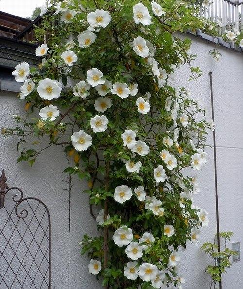 路傍の花、樹々の鳥(209) ~ バラの季節始まる ~_b0102572_1005561.jpg