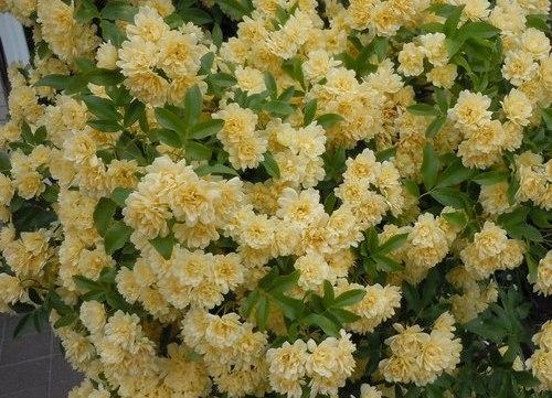 路傍の花、樹々の鳥(209) ~ バラの季節始まる ~_b0102572_1013615.jpg
